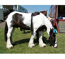 A gypsy vanner Photographic Print