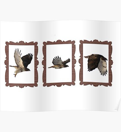 Red-Tail Hawk Framed Poster