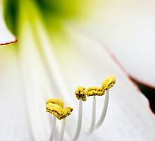 Hippeastrum 'Picotee' (Amaryllis) Flower Closeup by Alison Cornford-Matheson