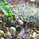 Banded Water Snake by TJ Baccari Photography