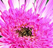 Purple Aster by R&PChristianDesign &Photography