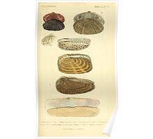 The Animal Kingdom by Georges Cuvier, PA Latreille, and Henry McMurtrie 1834  279 - Mollusca Mollusks Poster