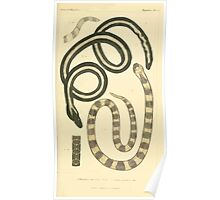 The Animal Kingdom by Georges Cuvier, PA Latreille, and Henry McMurtrie 1834  036 - Reptilia Reptiles Poster