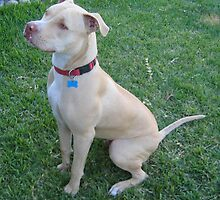 Adorable American Staffordshire Bull Terrier by welovethedogs