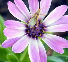 Daisybug by R&PChristianDesign &Photography