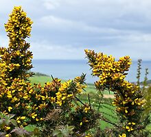 Gorse At Eype Down by Susie Peek