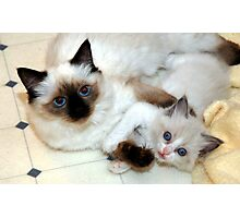 Ragdoll Mom and baby playing Photographic Print