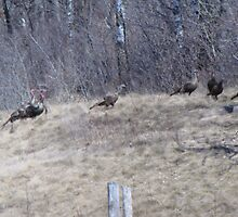 wild turkeys by sniderll