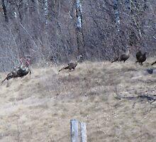 wild turkeys by sniderll