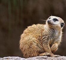 Meerkat by Karl Normington