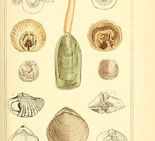 The Animal Kingdom by Georges Cuvier, PA Latreille, and Henry McMurtrie 1834  287 - Mollusca Mollusks by wetdryvac
