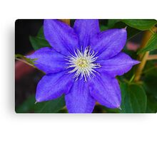 *H.F. YOUNG CLEMATIS* Canvas Print