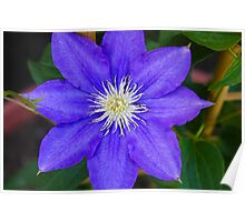 *H.F. YOUNG CLEMATIS* Poster
