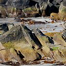 turnstones at scatness by NordicBlackbird