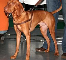 Awesome Hungarian Vizsla by welovethedogs