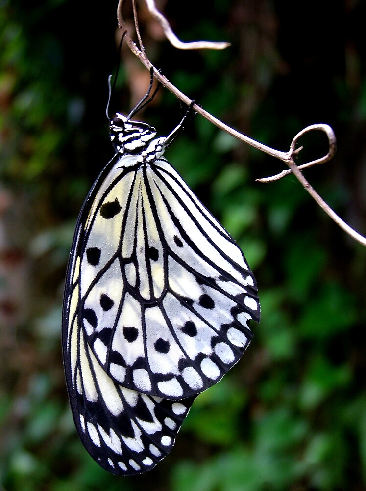 Paper Kite Butterfly by John Foster