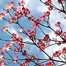 Pink Dogwood Reaching For The Clouds  by AngieDavies