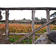 Vineyard at Pompeii, Italy Photographic Print