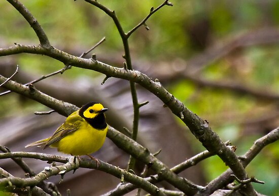 Hooded Warbler by Benjamin Young