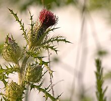 Morning Thistle by Otto Danby II