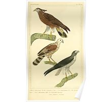 The Animal Kingdom by Georges Cuvier, PA Latreille, and Henry McMurtrie 1834 647 - Aves Avians Birds Poster