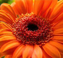 Gerbera Daisy by Susie Peek