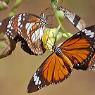 Orange Tiger Butterflies, Northern Territory, Australia by Adrian Paul
