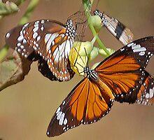 Orange Tiger Butterflies, Northern Territory, Australia by Adrian Paul