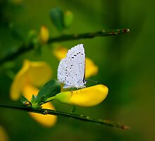 Butterfly by Al Williscroft