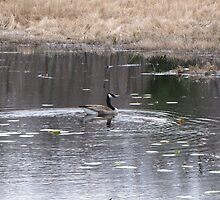 Candian Goose on pond by Linda Snider by sniderll