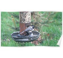 Black capped Chickadee at birdfeeder by Linda Snider Poster