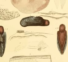 The Animal Kingdom by Georges Cuvier, PA Latreille, and Henry McMurtrie 1834  278 - Mollusca Mollusks Sticker