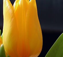 Yellow Tulip by Kasia-D
