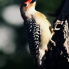 Red Bellied Wood Pecker by Cheri Perry