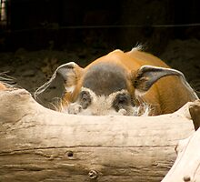 Swine Flu! Better hide. - Red River Hog by Sean McConnery