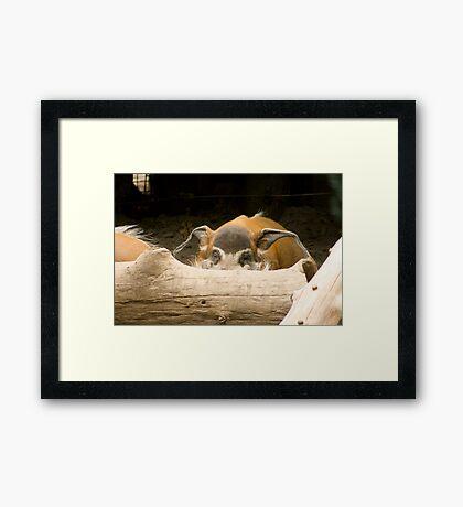 Swine Flu! Better hide. - Red River Hog Framed Print