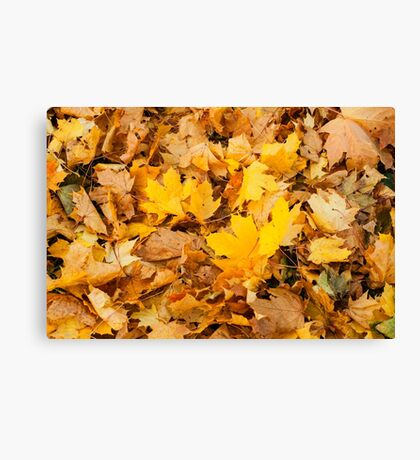 Autumn yellow leaves  Canvas Print