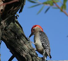 Red Bellied Woodpecker by Dave & Trena Puckett