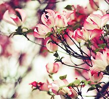 Pink Dogwood by SylviaCook