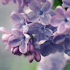 Lilac time by SylviaCook