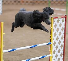 Funky Poodle Standard by welovethedogs