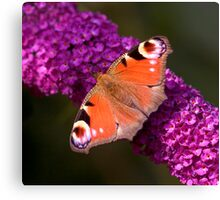 The Peacock Butterfly Canvas Print