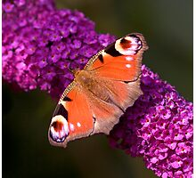 The Peacock Butterfly Photographic Print