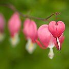 Fading hearts! by Carole Stevens