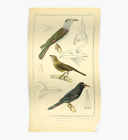 The Animal Kingdom by Georges Cuvier, PA Latreille, and Henry McMurtrie 1834 698 - Aves Avians Birds Poster
