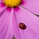 Ladybird on a Comos petal! by Carole Stevens