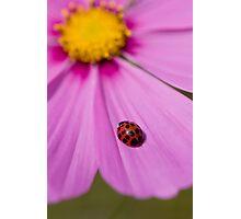 Ladybird on a Comos petal! Photographic Print