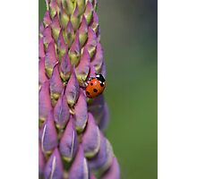 Ladybird hanging onto a lupin! Photographic Print