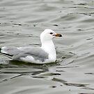 Ring-Billed Gull by Teresa Zieba