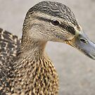 Ducky by Finbarr Reilly